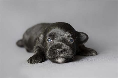 how before puppies open their when do newborn puppies open cuteness