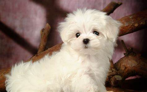 names for white dogs small white breeds pets breeds puppies five names for small white