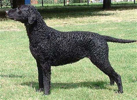 curly haired golden retriever honden overzicht be be