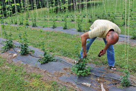 Hop Trellis System Hops Central Virginia Ag Spotlight