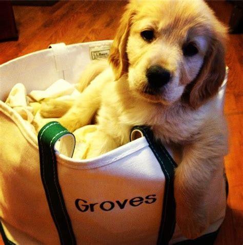 ll bean golden retrievers groves golden retriever puppy his llbean boat and tote via jamiecarroll88