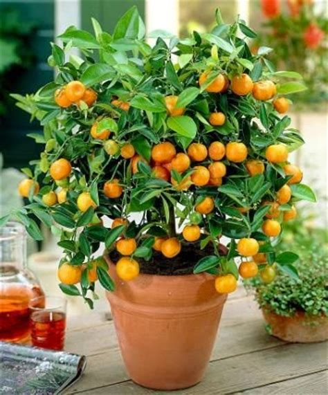 Small Fruit Trees For Pots - the best dwarf fruit trees to grow in pots fruit gardening my favorite things