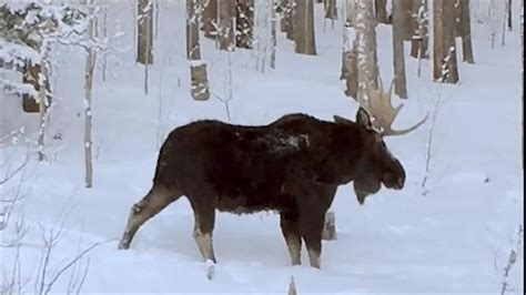 rare video   moose shedding  antler