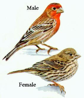 house finch male and female house finch adaptability 3