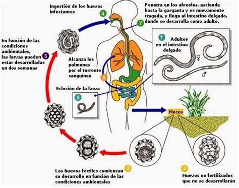 cadena epidemiologica fasciolosis medicina parasitosis intestinal