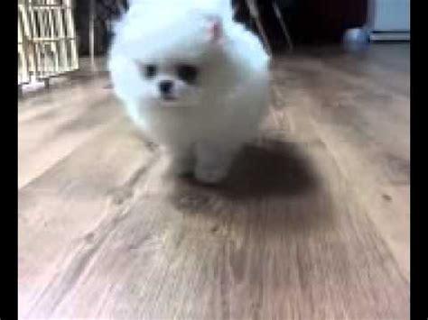 pomeranian puppies edmonton teacup white pomeranian available pomeranian puppy for sale near