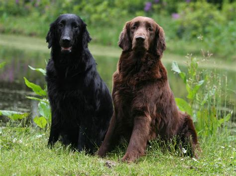 complete flat coated retriever the flat coated retriever chien et chiot retriever 224 poil plat wamiz
