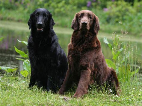 libro the flat coated retriever flat coated retriever chien et chiot retriever 224 poil plat wamiz