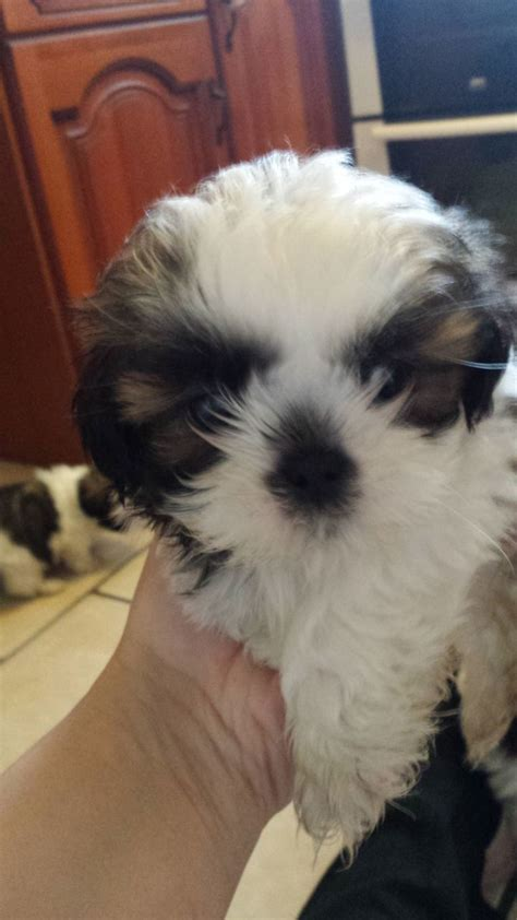 shih tzu puppies for sale in hull adorable pedigree shih tzu puppies for sale hull east of pets4homes