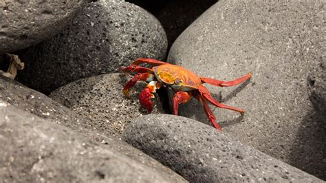 Do Crabs Shed Their Skin by How Do Crabs Protect Themselves Reference