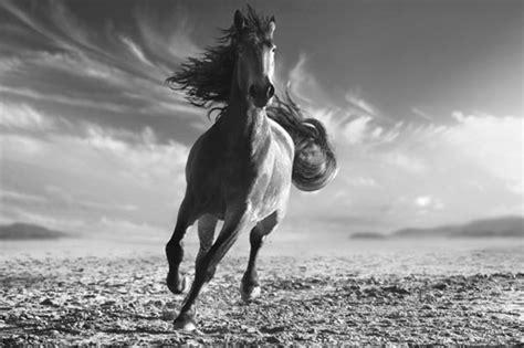 imagenes en blanco y negro de caballos myc laminas y posters arte enmarcado