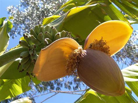 pianta di banana in vaso banano piante da giardino pianta di banano