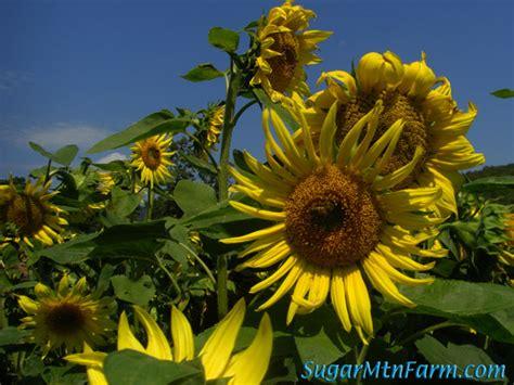 black sunflower seeds for sheep black seed sunflowers sugar mountain farm