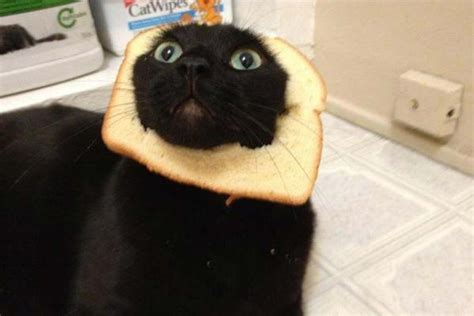 Cat Toast Meme - cats at pawfront of breading meme democratic underground