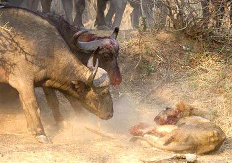 peleas de leones a muerte le 243 n muerte por pelea contra b 250 falos cafres spanish