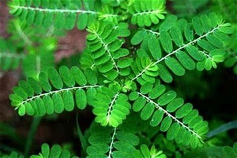 manfaat meniran herbal penyehat indonesia