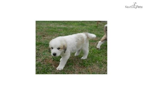 great pyrenees puppies for adoption great pyrenees puppy for adoption near 87efffc3 fbb2