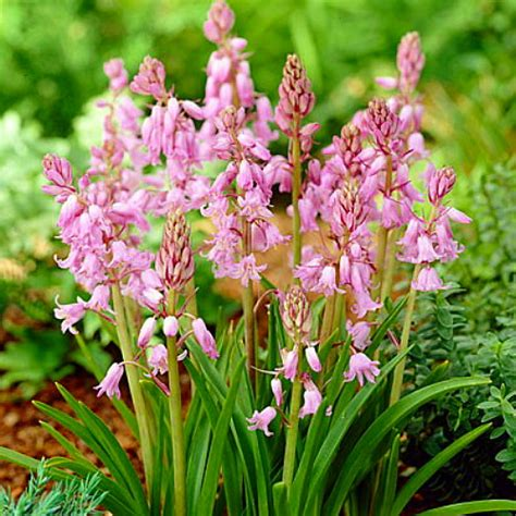 pink wood hyacinth mix 15 bulbs scilla spanish bluebell ebay