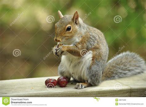 squirrel eating grapes royalty free stock image image