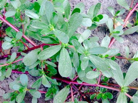 Yes Im A Ganja Planter by Is This A Purslane Snaplant