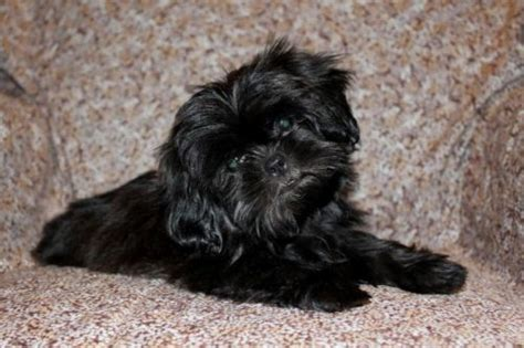black shiih tzu pictures