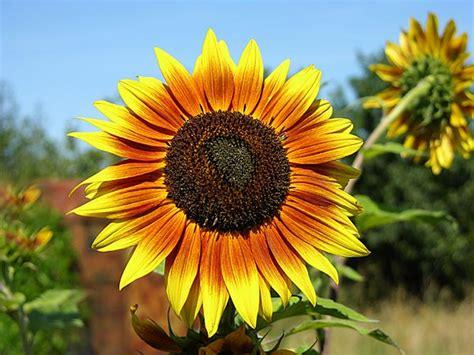 imagenes de flores de girasol girasoles imagenes fotos de flores fotos foto paisajes