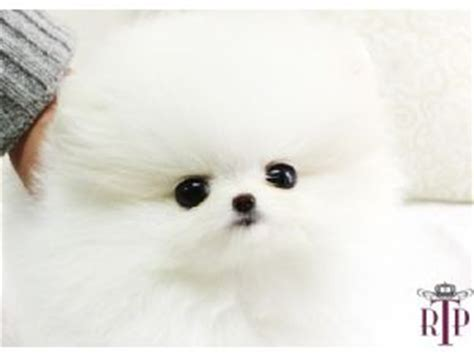 doll pomeranian baby doll pomeranian www pixshark images galleries with a bite
