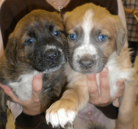 adopt a free puppy bulldog puppies for free adoption breeds picture