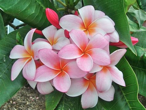 Hi Flower by Plumeria I These Flowers Hawaii Pictures