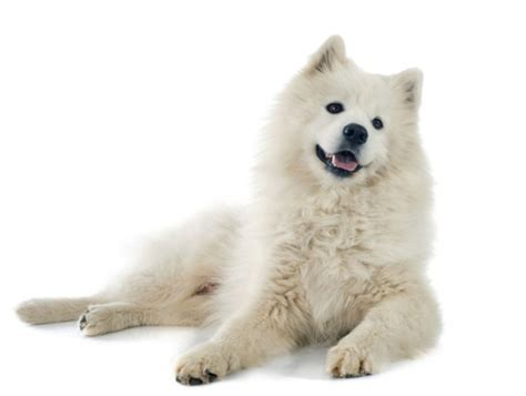 pomeranian breeders in northern california samoyed breeders northern california breeds picture
