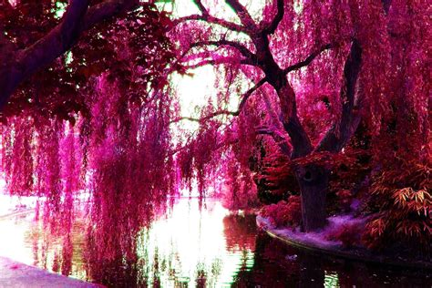 color trees pink color images pink trees hd wallpaper and background
