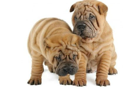 shar pei puppies for adoption shar pei puppies for adoption bazar