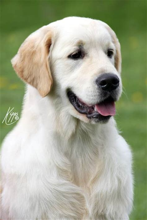 xanthos golden retrievers chion italian chion xanthos jw sgwc xanthos golden retrievers