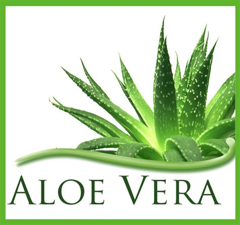aloe vera facts for your health and wellness facts of aloe vera