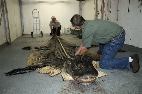 Records In Alabama Alabama S New World Record Alligator Unveiled Hunt Forever