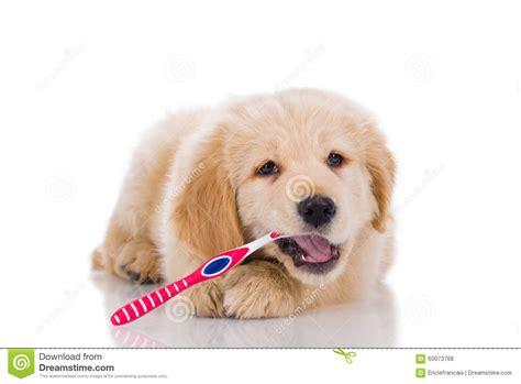 golden retriever teeth golden retriever brushing his teeth looking o stock photo image 60073768
