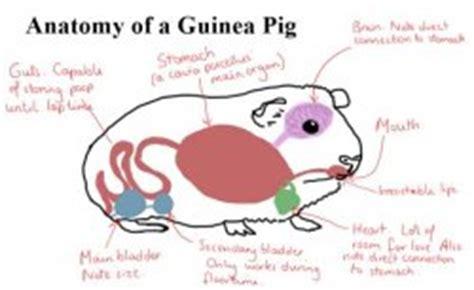 guinea pig diagram anatomy of a guinea pig the guinea pig forum