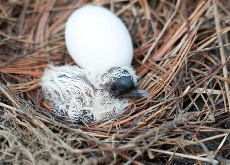 baby mourning dove animals pinterest
