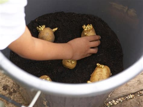 potato pot how to grow potatoes in pots hgtv