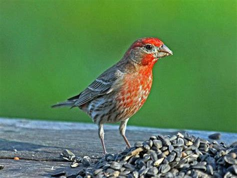 backyard birds virginia 17 best images about birds of virginia on pinterest