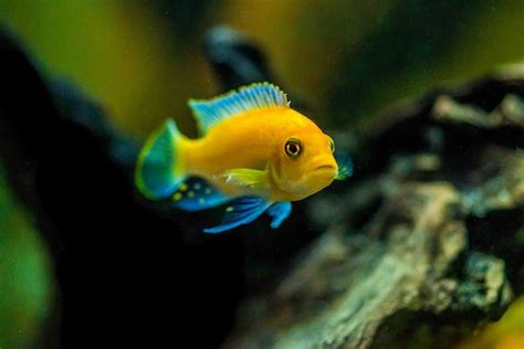 aquascape and new fish in the cichlid tank 17 best images about acuariosypeces es on