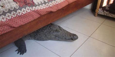 0007586779 the crocodile under the bed and they say there are no monsters under my bed town