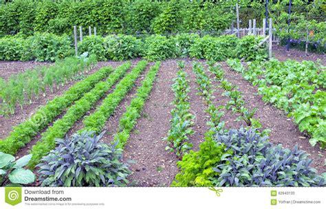 Herbs And Leaf Root Vegetables Growing In A Garden Stock Root Vegetable Garden