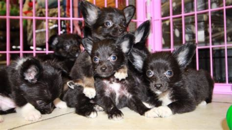 chion yorkie puppies chion puppies for sale local breeders near atlanta ga at puppies for sale