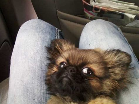 pekingese puppies for sale in nc pekingese for sale ads free classifieds
