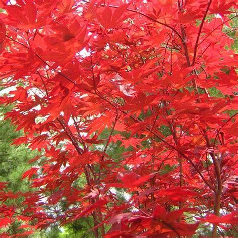 fireglow japanese maple landscaping ideas pinterest