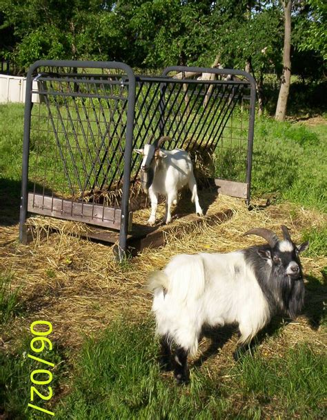 Futon Hay Feeder by Hay Feed For Goats Goat Linkcom Home Images Frompo