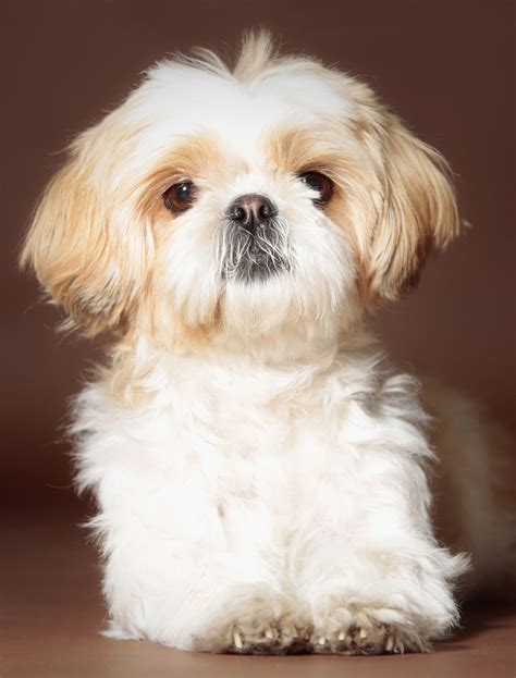 names shih tzu shih tzu names adorable to awesome ideas for naming your puppy