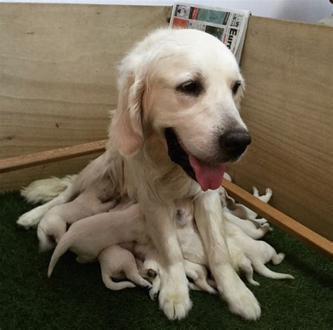 dogs that look like golden retrievers topus a newly discovered golden retriever and octopus hybrid bored panda