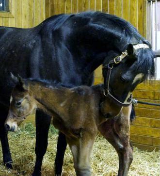 stonestreet rachel alexandra will not be bred in 2014 rachel alexandra has surgery for foaling complications